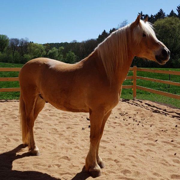 Pony Novis