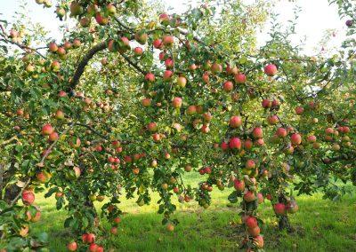 Apfelbaum-
